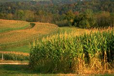 and the corn fields go on forever...