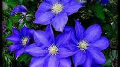 7. Clematis Blue. will need trellis. Behind large window of pool house. one or two plants?