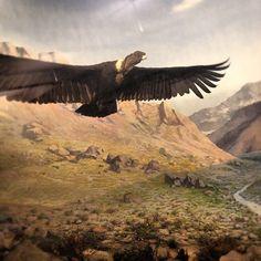 Andean Condor near Mt. Aconcagua, Argentina via @Michelle Holt