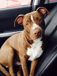 American Pit Bull Terrier Puppy Dog Dogs Puppies  Pitbull