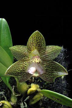 Houlletia brocklehurstiana - Orchids Wiki