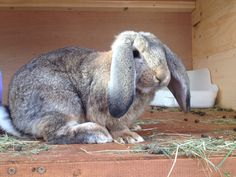 Rupert the French lop rabbit