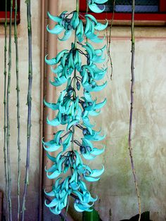 Jade Vine, indigenous to Philippine rain forests