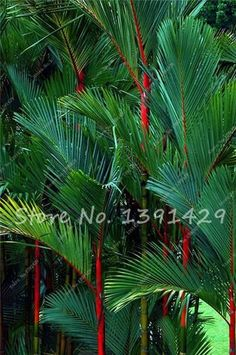 100pcs Bonsai Lady Palm seeds, China Bamboo Palm Tree seeds. Bonsai flower seeds,Rare Potted Plant for home garden pots planters