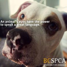 Pictured is Rex is available for adoption at the BC SPCA Victoria Branch.