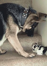 Share this Dog Carries Kitten Upstairs Animated GIF with everyone. Gif4Share is…