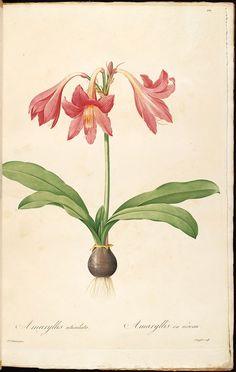 gravures de fleurs liliacees - gravures de fleurs liliacees - 80032 amaryllis reticulata - amaryllis en reseau - Gravures, illustrations, dessins, images