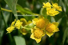 Bupleurum – Insignificant yellow green flowers. Used more as a foliage and as a filler