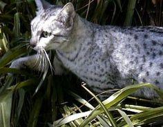 Egyptian Mau Cat stalking