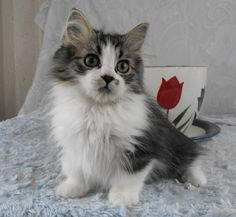 """Munchkin Cat  * * """" Roses be red, violets be blue, and I wanna run, whenz I see you...wif dat digital."""""""