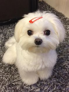 What a darling #maltese