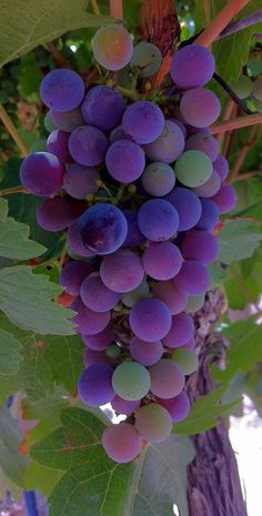 blauwe druiven.