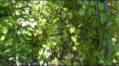 edible medicinal plants - YouTube