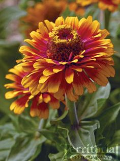 Zinnia-Zowie! Yellow Flame    Zinnia elegans Add some shock factor to your garden palette with this 2006 AAS winner. The 2-3 inch semi-double blooms have hot magenta-orange centers and are tipped with fiery yellow. They will produce a vibrant display on 24-30 inch plants all summer long.