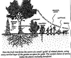 Great example of a fruit tree guild. Click for larger.