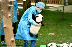Eat like a king:More than 20 types of bamboo are offered by the Chengdu centre to pandas