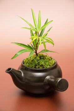 ˚Japanese Moss Bonsai