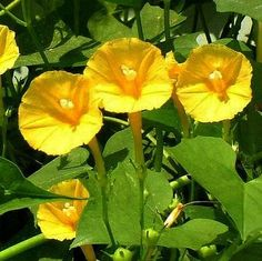 This tiny yellow morning glory is quite rare, but is as enthusiastic as its common cousins. Butter-yellow trumpets the size of a quarter bloom in clusters among heart shaped leaves. They stay open fro Morning Glory Vine, Morning Glory Flowers, Morning Glories, Rare Flowers, Exotic Flowers, Yellow Flowers, Beautiful Flower Quotes, Beautiful Flowers, Unusual Plants
