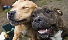 Staffies like these are considered ideal pets by the UK Kennel Club If this is true, we here in the US could take a lesson from our friends across the pond! How could you be afraid of those sweet faces? Beautiful Dogs, Animals Beautiful, I Love Dogs, Cute Dogs, Awesome Dogs, Animals And Pets, Cute Animals, Staffy Dog, Pitbulls
