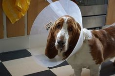 The cone of shame.