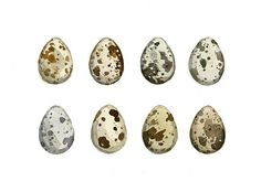 Quail Eggs Watercolor Print