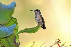 Foto topetinho-verde (Lophornis chalybeus) por Ivan Angelo | Wiki Aves - A Enciclopédia das Aves do Brasil