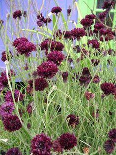 "Centaurea 'Black Gem' ""Black Bachelor Buttons"" I love the dark flowers on the delicate stems Beautiful Gardens, Beautiful Flowers, Cottage Garden Plants, Fruit Garden, House Plants, Bachelor Buttons, Black Gems, Black Magic, Gothic Garden"