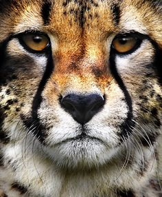 "Cheetah: ""This Superb Photograph shows clearly the ""Teardrop"" effect of the black lines running down the animal's beautiful face. The word: ""Cheetah"" is derived from Hindi; in turn: From Sanskrit meaning: ""Variegated.""!IEC"
