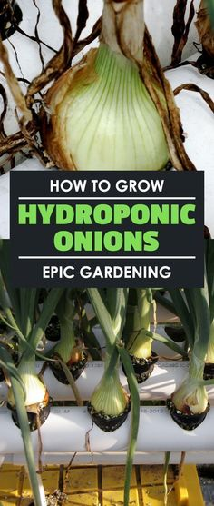Learn how to grow hydroponic onions in this hydroponic root crop experiment. I break it down and you'll be able to follow along as I go! #hydroponicsonions