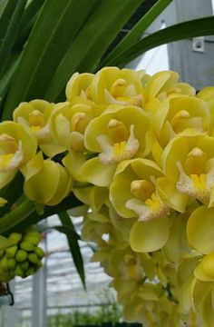 Notes - new cascading cymbidiums orchids Dendrobium Orchids, Phalaenopsis Orchid, Exotic Flowers, Beautiful Flowers, Indoor Orchids, Orquideas Cymbidium, Growing Orchids, Orchidaceae, Container Gardening