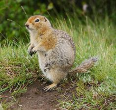 Arctic Ground Squirrel Pictures