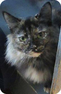 Port Jervis, NY - Domestic Longhair. Meet Trina, a cat for adoption. http://www.adoptapet.com/pet/16392653-port-jervis-new-york-cat