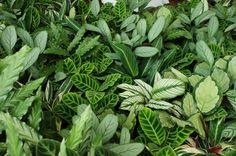 Calathea cultivars