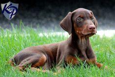 Eve – Doberman Pinscher Puppy  #dobermanpinscher