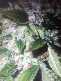 Perfect and big grass Cannabis, Grass, Cool Stuff, Big, Cool Things, Herb, Ganja, Grasses, Lawn