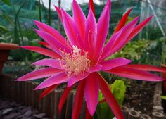 Epiphyllum 'Roman Torch' | Molly's Tropical Plants