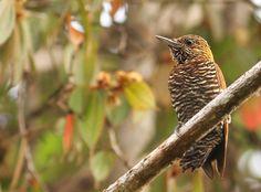 Choco Woodpecker - near Alto Tambo, EC - 2/20/2012 | by grallaria