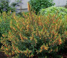 Cuphea micropetela Candy Corn Plant