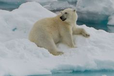 Polar bear sightings are one of the many highlights of a Svalbard expedition. #Arctic #Travel