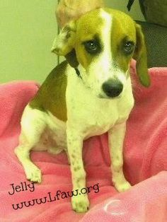 Jelly Beagle Estimated DOB: 12-23-12 Gender: Male   Jelly is a darling little boy with a sweet personality. He doesn't mind being picked up and will sit calmly on a lap. He would fit nicely in a family and wouldn't mind having another dog to play with.