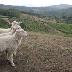 Sheep #sheep