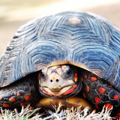 """""""Can't help but love these little guys! #tortoises #mustique """""""