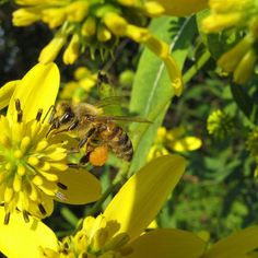 When it comes to keeping bees, one of the sweetest rewards is that of a splendid honey harvest. No matter the reasons for keeping bees, often folks get most excited when the time comes to harvest the delicious and highly nutritious honey from their hives. Most beekeepers with existing hives do two harvests, one in […]