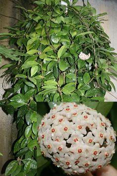 Hoya Carnosa (wax plant climber)