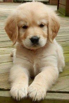 Golden retriever puppy, cross stitch pattern, counted cross stitch, puppy cross stitch, golden puppy - Cats and Dogs House Perros Golden Retriever, Golden Retriever Mix, Baby Golden Retrievers, Retriever Dog, Cute Baby Animals, Animals And Pets, Funny Animals, Funny Dogs, Cute Dogs And Puppies