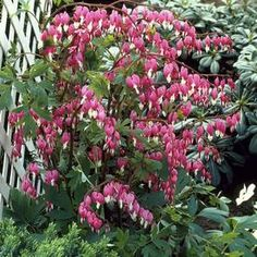 Van Zyverden Bleeding Heart Bulbs at Lowe's. Everyone knows this plant, Dicentra, which is one of the old old fashioned garden plants. It is one of America's favorite plants and timeless classic. Bleeding Heart Plant, Bleeding Hearts, Winter Plants, Summer Plants, Shade Garden, Garden Plants, Outdoor Plants, Canna Bulbs, Meadow Garden
