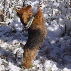 Arista Australian Terriers Australian Terrier Puppies, Norfolk Terrier Puppies, Terrier Rescue, Terriers, Brown Bear, Dogs, Animals, Animales, Animaux