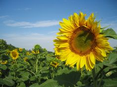 Sunflowers Nature HD Wallpaper Wallpapers For
