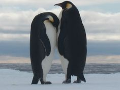 Adelie penguins at the ice edge