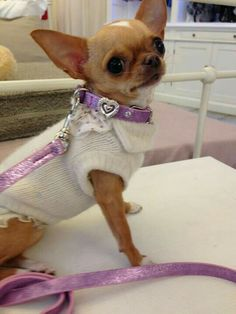 .so precious this Chihuahua is she beautiful